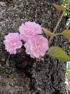 太い幹にひっそり咲く桜